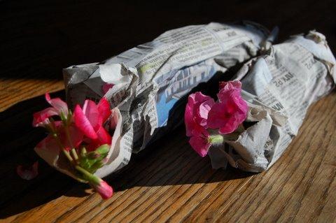 pelargoniumstikling